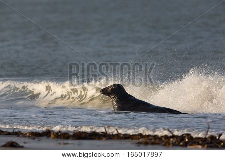 Male grey seal (Halichoerus grypus) swimming in the surge of waves