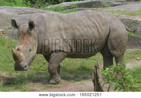 muddy male White Rhinocerous in a pen, zoo near Songkhla, Thailand