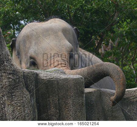female Asian Elephant curling trunk over rocks, near Songkhla, Thailand