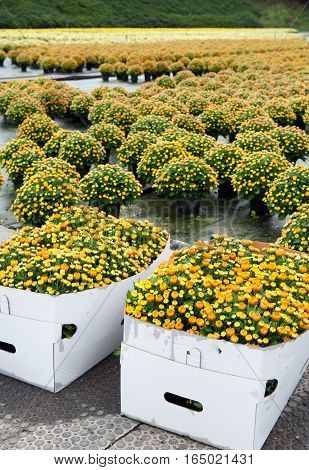 Perspective view of chrysanthemums field with white pasteboard boxes of flowers in the foreground