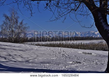 winter mountain landscape with trees and cattails in the foreground