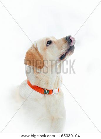Labrador retriever begging for treats over a white background