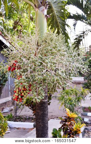 Green and red palm nuts on a palm tree in Kenya