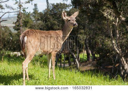 a black-tailed deer doe stands on alert