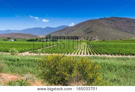 Vineyard of grape vines close to Montague Western Cape in South Africa