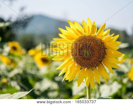 close up shot of Field of sunflowers  (Helianthus annuus)