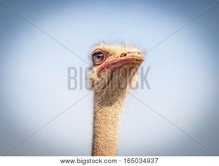 Portrait of ostrich face isolated against blue sky