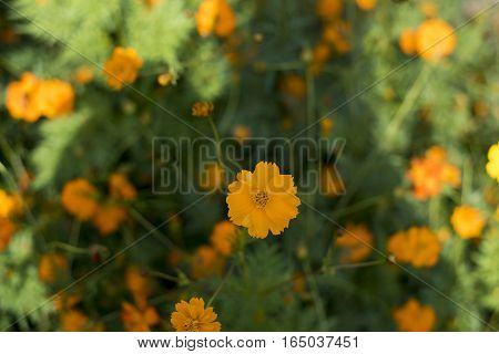 cosmos field, a beautiful day Blossom yellow colorful cosmos flowers field