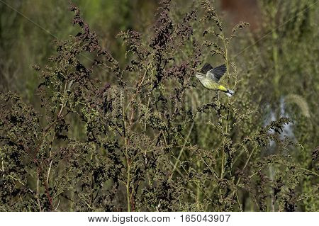 Palm Warbler (Setophaga palmarum) launching into flight