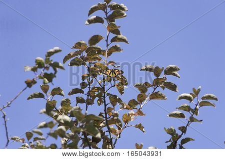 Monarch butterfly glowing against dull tree foliage