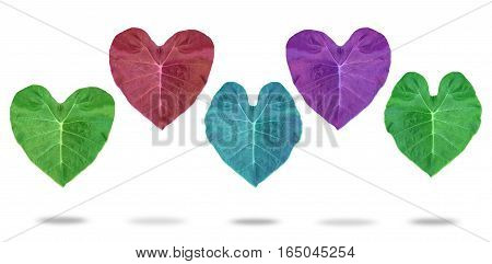 Colorful of heart leaves.Isolated on white background
