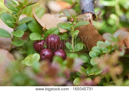 Ripe lingonberry growing on the far East of Russia