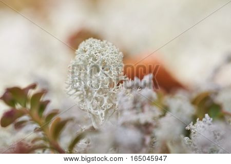 Lichen close up in the autumn in the far East of Russia