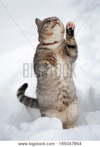 The young tabby cat standing on hinder legs in snow