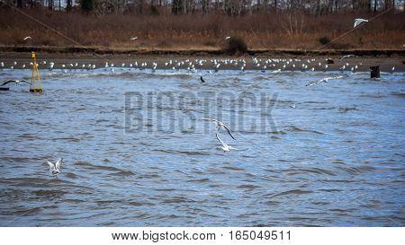 Colony Of Seagulls At A Coast Of River Rioni, Poti, Georgia