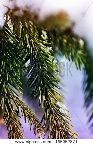 The frozen droplets of ice on spruce needles.Background for Christmas cards - fir branch with snow in a winter sunny day.