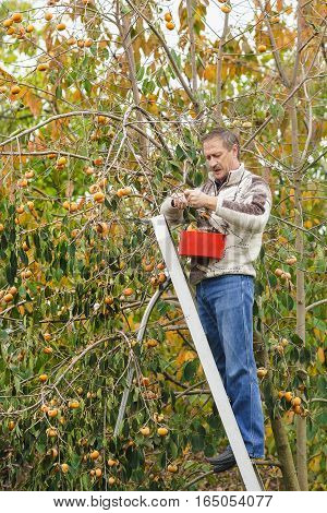 A middle-aged man gathers persimmon fruit in the garden.
