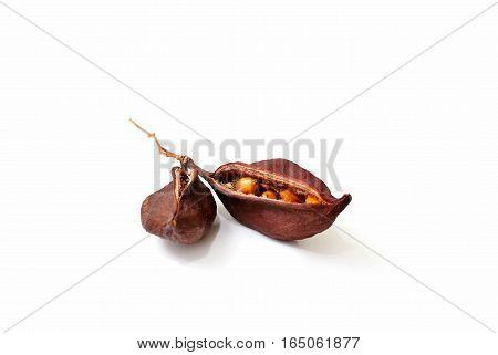 Bottle tree seeds capsule follicle fruit isolated