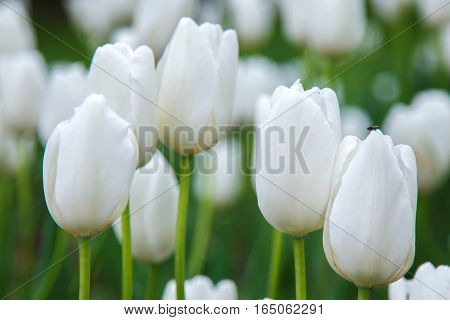 White tulips in garden close. Summer decorative flower. Natural plantation floral. Purity and freshness of the petals.