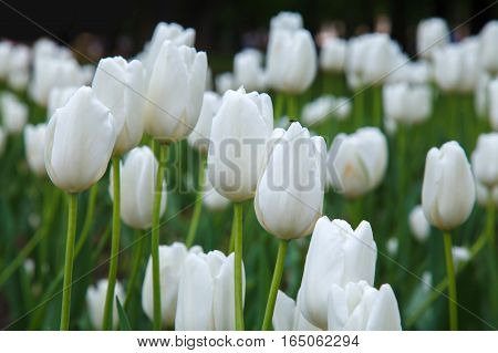 Many white tulips in garden close. Summer decorative flower. Natural plantation floral. Purity and freshness of the petals.