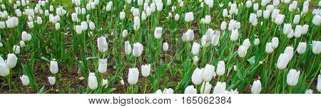 Panorama of White tulips in garden close. Summer decorative flower. Natural plantation floral. Purity and freshness of the petals.