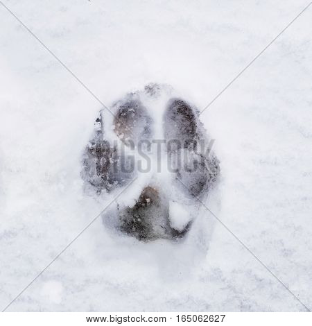 Trace of dog's paws in the snow. The imprint of the animal. Winter tracks of animals on the ice.
