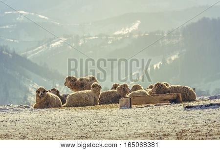 Flock of sheep resting in the warm morning sunlight on a snowy meadow during winter up in the Carpathians mountains Romania.