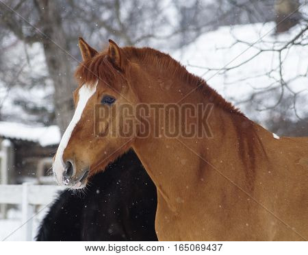 red horse with a white blaze on his head standing on the snow in a paddock near the white wooden fence