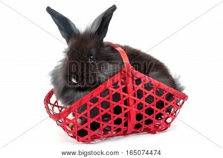 Black Hollands Lops Rabbit In Red Basket On White Background