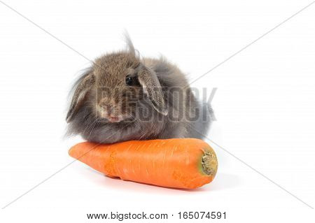 Cute Holland Lop rabbit eatting carrot isolated on white