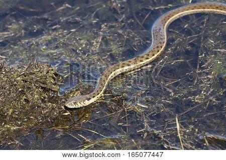 A garter snake slides through a shallow pond.