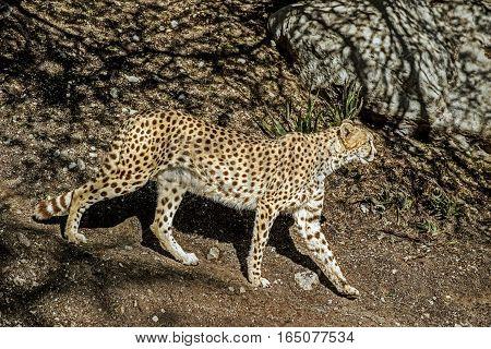 A cheetah walks along a trail in the wilderness.