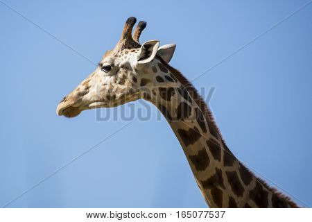 A beautiful face of young giraffe as it browses for leaves.