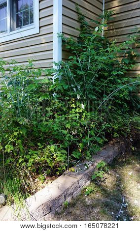 Black and purple raspberry plants (Rubus occidentalis) in a garden in Harbor Springs, Michigan during August.