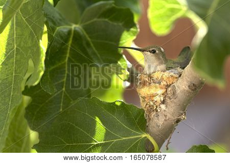 A mother hummingbird tends her tiny nest.
