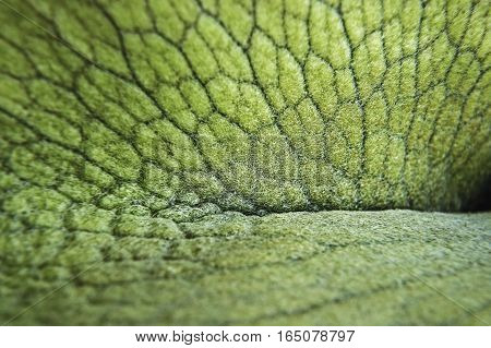 A closeup image of a Staghorn Fern examines it shield in detail.