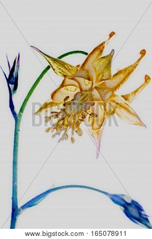 A photograph of Columbine Flower rendered as an illustration
