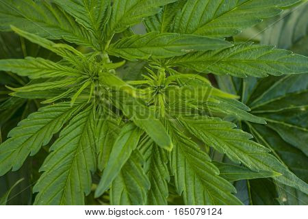 A Macro Image of a Cannabis Seedling as it grows