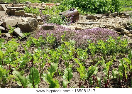 Young beetroot, celery and thyme in vegetable intercropping cultivation. Eco-friendly backyard garden, vegetable garden.