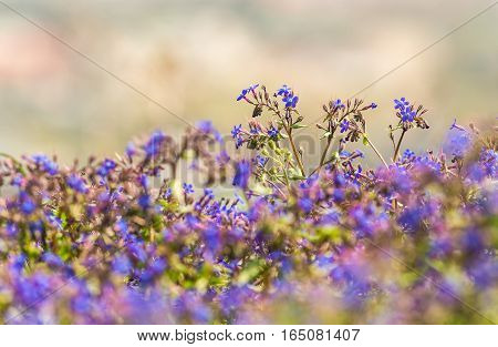 small blue spring flowers in the foreground