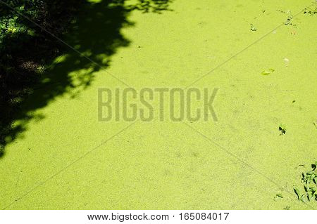 Fresh green spawn in the top of water or canal texture background