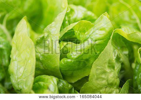 Fresh green Lettuce salad background.Fresh green Lettuce.