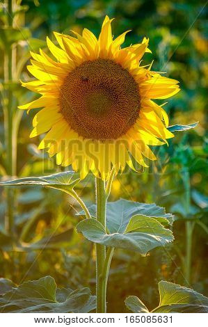 Yellow petals of a sunflower lit by the sun from behind