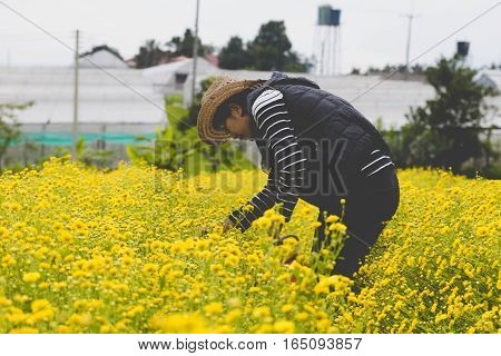 woman farmer harvesting Chrysanthemum flower in field for producing tea