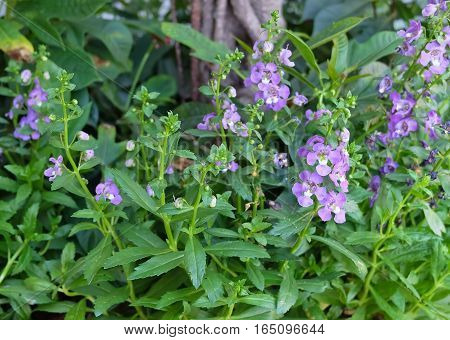 Flower and Plants Purple Sage Flowers or Salvia Blossoms with Green Leaves.