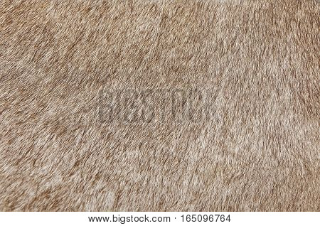 Fabric Textile Close Up of Brown Cowhide or Fragment of Skin A Cow Texture Background.