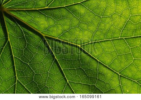 Detail of the texture and pattern of a fig leaf plant, the veins form similar structure to a green tree