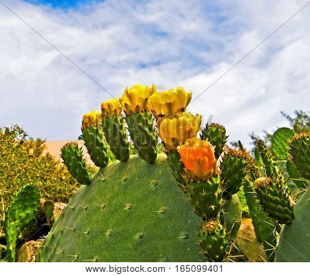 Cactus blooming with yellow flowers in Tunisia, Northen Africa