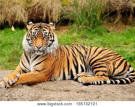 Royal Bengal Tiger Sitting on Rock Forest backround