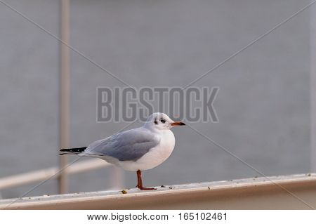 Closeup of a relaxing Seagull. Sitting Seagull